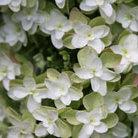 Hydrangea quercifolia 'Snow Flake' (oak leaved hydrangea)