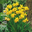 Autumn Bulbs-Narcissus 'Tete-a-tete'-10 Bulbs