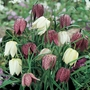 Autumn Bulbs-Snakes Head Fritillaria-10 Bulbs