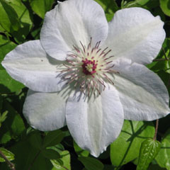 Clematis White x 5 Plants
