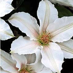 Clematis Chantilly