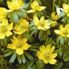 Aconite - Winter Flowering  Bulbs - 24 Bulbs