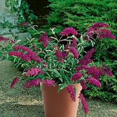 Buddleja Buzz Collection - 4 Plug Plants