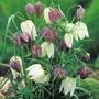 Autumn Bulbs-Fritillaria Melegris - 50 Bulbs