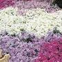 Phlox Ground Cover Collection - 15 Plug Plants
