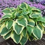 Fragrant Hosta Collection - 10 Plants