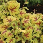 Heuchera Collection - 5 Bulbs