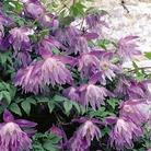 Clematis Macropetala - 3 Jumbo Plants