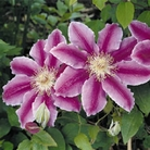 Clematis Dr Ruppel - 3 Jumbo Plants