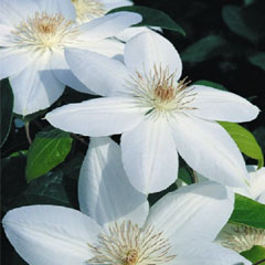 Clematis Marie Boisselot - 3 Jumbo Plants