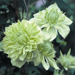 Clematis flodia Alba Plena - 3 Jumbo Plants