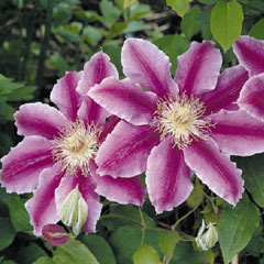 Clematis CollectIon With Free Book