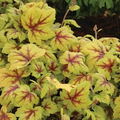Heuchera Collection - 5 Jumbo Plug Plants