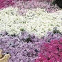 Spring  Plants - Phlox Ground Cover Collection - 10 Plug Plants