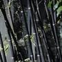 Black Bamboo (Phyllostachys Nigra) - 2 Plants