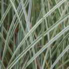 Miscanthus sinensis 'Morning Light' (silver grass)