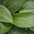 Hosta 'Devon Green' (plantain lily)