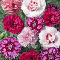 Dianthus Summer Fruits - 5 Plug Plants