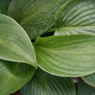 Hosta 'Devon Green' (plantain lily)