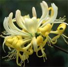 Lonicera periclymenum 'Heaven Scent' (English wild honeysuckle)
