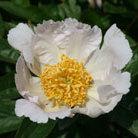 Paeonia lactiflora 'Krinkled White' (paeony / peony)