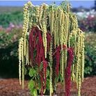 Amaranthus Pony Tails Seeds