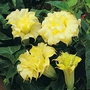 Angels Trumpet Golden Queen Seeds