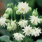 Flower Seeds - Aquilegia Green Apples