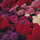 Flower Seeds - Aster Carpet Ball Mixed