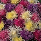 Aster Spider Chrysanthemum Mixed Seeds