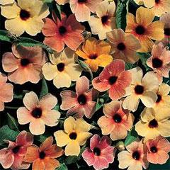 Flower Seeds - Black Eyed Susans Salmon Shades