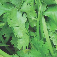 Herb Seeds - Coriander Calypso