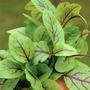 Salad Seeds - Sorrel Blood Veined