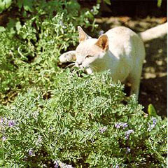 Flower Seeds - Catmint Seeds