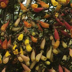 Chilean Glory Vine Mixed Climber (Eccremocarpus) Seeds