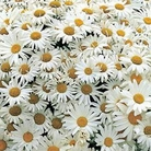 Flower Seeds - Chrysanthemum - For Anthony