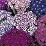 Flower Seeds - Cineraria Grandiflora British Beauty Mixed