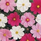 Flower Seeds - Cosmos Sonata Mixed