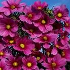 Flower Seeds-Cosmos Versailles Tetra
