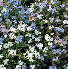 Flower Seeds - Forget Me Not Bobo Mixed