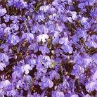 Flower Seeds - Lobelia (Trailing) Blue Cascade