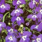Flower Seeds - Lobelia (Trailing) Sapphire Cascade