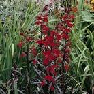 Lobelia Cardinalis Queen Victoria Seeds