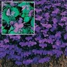Flower Seeds - Lobelia Crystal Palace