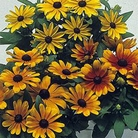Rudbeckia Becky Mixed Seeds