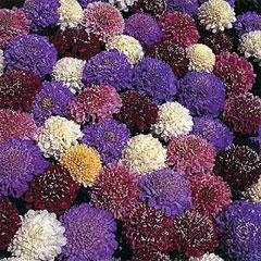 Flower Seeds - Scabiosa Dwarf Double Mixed