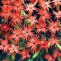 Flower Seeds - Silene Jack Flash