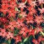 Flower Seeds - Silene Jack Flash