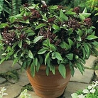 Herb Seeds - Basil Siam Queen