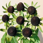 Rudbeckia Occidentalis Green Wizard Seeds